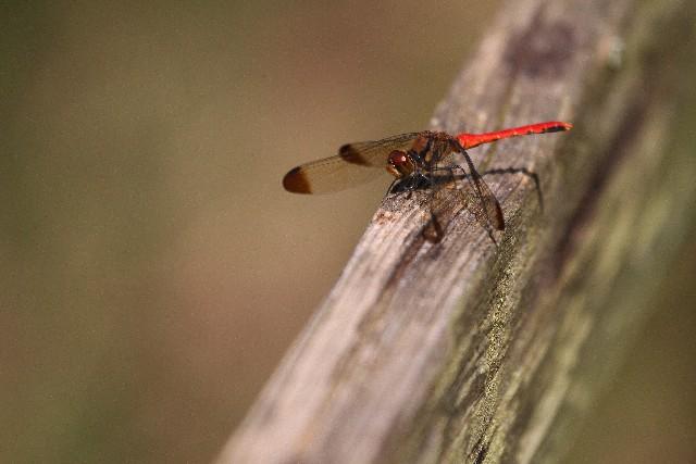 秋の虫|とんぼ|種類や特徴